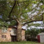 Toronto Seeks to Save Oak Tree Older Than Canada