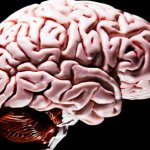 Scientists create human 'mini-brain'