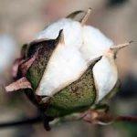 Cotton Glut Seen Extending Slump as Levi's Costs Slide – Businessweek